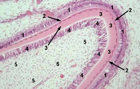 MICROSCOPIC HISTOLOGY IMAGES - TONGUE, TOOTH, TOOTH ...